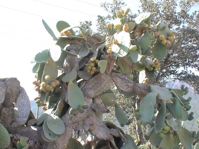 Gölköy Kaktusfeigen